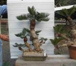 ソテツの盆栽