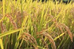 23年度産新米特別栽培米