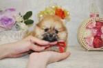 ポメラニアン オレンジの子犬