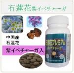 石蓮花 紫イペチャーガ