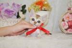 シンガプーラのかわいい子猫が産まれました。