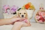 カニンヘンダックス クリームの子犬産まれております。