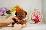 ティーカッププードルのかわいい子犬多数産まれております